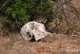 Elephant (skull)