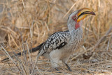 Hornbill, Southern Yellow-billed (female)