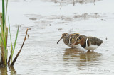 Snipe, Greater Painted-
