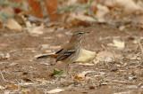 Robin, White-browed Scrub-