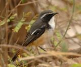 Robin, White-throated