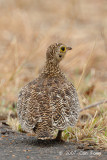 Sandgrouse, Double-banded (female)