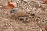 Sparrow, Southern Grey-headed