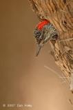 Woodpecker, Golden-tailed (female)