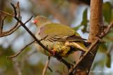 Pigeon, African Green