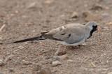 Dove, Namaqua (male)