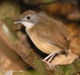 Babbler, Short-tailed @ Sime Forest