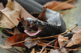 Cobra, Equatorial Spitting @ Jurong Lake