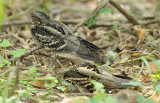 Nightjar, Large-tailed (pair) @ Chinese Gardens