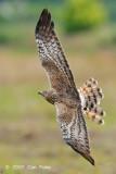 Harrier, Pied (female) @ Sungei Balang