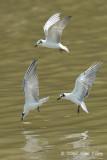 Tern, White-winged @ Parit Jawa