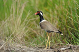 Lapwing, Red-Wattled