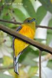 Trogon, Orange-breasted (male) @ Bukit Tinggi