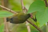 Sunbird, Temminck's (female) @ Mt. Kinabalu