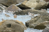 Plover, Greater Sand @ Likas Bay