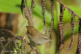 Warbler, Sunda Bush @ Mt. Kinabalu