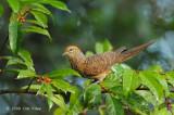 Dove, Little Cuckoo @ Mt. Kinabalu
