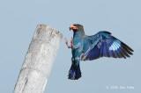 Dollarbird @ Changi