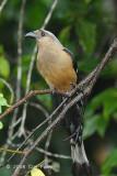 Treepie, Bornean @ Mt. Kinabalu