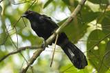 Magpie, Black