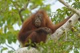 Bornean Orangutan (juvenile female) @ Kinabatangan River