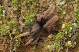 Purple Femur Tarantula