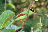 Magpie, Green @ Jelai Resort