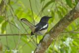 Robin, Oriental Magpie