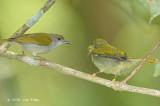 Sunbird, Plain (female feeding fledgling)