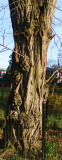 Old tree in Flushing