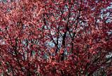 Cherry blossom time in Kissena Park