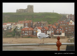 Gull, Whitby, North Yorkshire