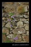 Wallflowers, Holy Island, Northumberland