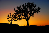 Joshua Trees in Silhouette