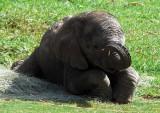 Baby Elephant Camile