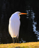 Egrets and Herons of SC
