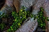 Banyan Foot With Foliage