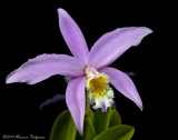 Laelia jongheana 'Tropical Surprise' AM/AOS