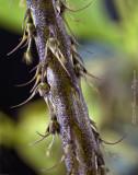 Bulbophyllum clipeibulbum CBR/AOS