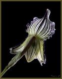 Paphiopedilum fairrianum