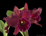 Pot Sally Taylor 'Red Flame' x Blc Ft Watson 'Mendenhall' AM/AOS
