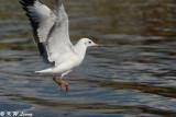 Gull (DSC_6130)