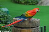 Scarlet Macaw 04