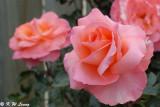 Rose (DSC_4517)