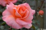 Rose (DSC_4521)