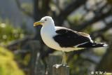 Gull (DSC_6288)