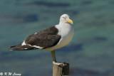 Gull (DSC_6314)
