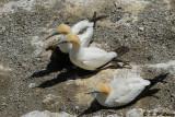 Gannets (DSC_6621)