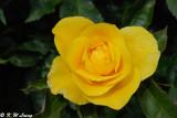 Rose (DSC_5449)