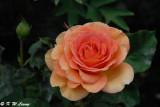 Rose (DSC_5442)
